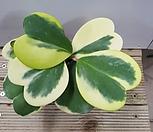 하트호야(무늬)|Hoya carnosa