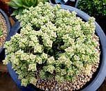 희성금 한몸자연군생-73|Crassula Rupestris variegata