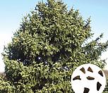 나무씨앗 씨앗 전나무|