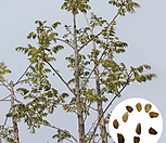나무씨앗 씨앗 참죽나무씨앗|