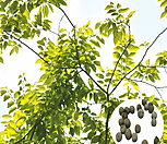나무씨앗 씨앗 팽나무씨앗|