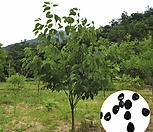 나무씨앗 씨앗 헛개나무씨앗|