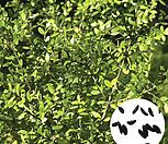나무씨앗 씨앗 회양목씨앗|