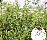 나무씨앗 씨앗 꼬리조팝나무|