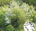 나무씨앗 씨앗 조팝나무|