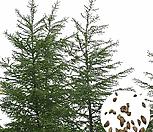 나무씨앗 씨앗 일본잎갈나무씨앗|