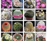 Mammillaria 믹스수입씨앗 10립|