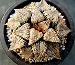 픽타(고급종)-57|Haworthia picta