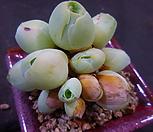 그라노비아(기간티아)919-457|Greenovia diplocycla var.gigantea