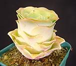 기간티아그라노비아(대) 8-107|Greenovia diplocycla var.gigantea