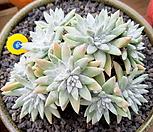 화이트그리니 19두군생|Dudleya White gnoma(White greenii / White sprite)
