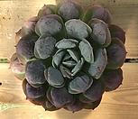 레인드랍(p-17) Echeveria Frill Raindrops