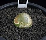 XP2119-Conophytum burgeri  부르게리 20mm|Conophytum burgeri