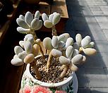 일본 홍미인 묵은둥이 합식 (7 body)|Pachyphytum ovefeum cv. momobijin
