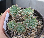 블루엘프597|Echeveria blue elf