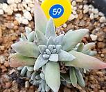 화이트그리니 10두자연군생-59|Dudleya White gnoma(White greenii / White sprite)