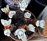 환엽블러쳐스 9두군생(목대 튼실하고 굵어요)|Dudleya farinosa Bluff Lettuce