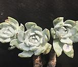환엽블러쳐스24 Dudleya farinosa Bluff Lettuce