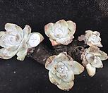 환엽블러쳐스28 Dudleya farinosa Bluff Lettuce