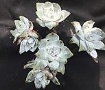 환엽블러쳐스29 Dudleya farinosa Bluff Lettuce