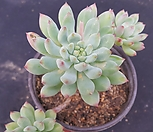 블루엘프1644|Echeveria blue elf