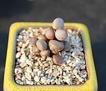 리틀스페로이드 092101|Echeveria minima hyb Roid
