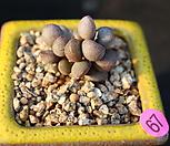 리틀스페로이드 092102|Echeveria minima hyb Roid