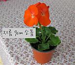 매버릭 오렌지(maverick orange) 지름 9cm 소품화분 제라늄|