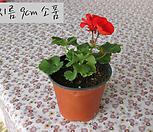 페라고늄 레드(pelargonium red) 지름 9cm 소품화분 제라늄|