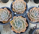 모닝라이트 4개|Echeveria peacockii Morning Light