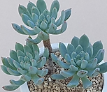 블루엘프|Echeveria blue elf