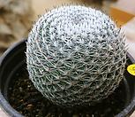 희망환선인장9237|Mammillaria albilanata Backeb