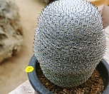 희망환 선인장 중품9231|Mammillaria albilanata Backeb