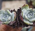 환엽블러쳐스쌍두9286 Dudleya farinosa Bluff Lettuce