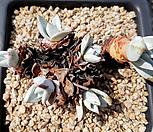 환엽블러쳐스 6두군생-70|Dudleya farinosa Bluff Lettuce