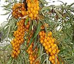 비타민 나무 삽목 2년생 (암놈4+숫놈1) 1set 예약판매 11월 중 발송예정|