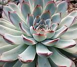 황홀한연꽃(대)0923|Echeveria pulidonis
