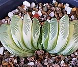 그린옥선금|Haworthia truncata variegated