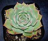 핑크팁스묵은둥이89|Echeveria Pink Tips