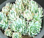 바이올렛퀸 군생 (XI2320)|Echeveria Violet Queen