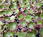 페스티발(에오니움금)  컷팅 100개-미국수입-8|Aeonium canariense
