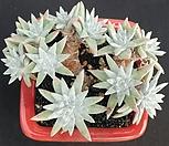 화이트그리니목대13두|Dudleya White gnoma(White greenii / White sprite)
