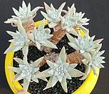 화이트그리니목대14두로분지중|Dudleya White gnoma(White greenii / White sprite)