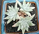 화이트그리니목대3두|Dudleya White gnoma(White greenii / White sprite)