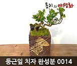 둥근잎(환엽)치자 수제화분 완성작|