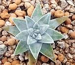 화이트그리니 2두 6|Dudleya White gnoma(White greenii / White sprite)