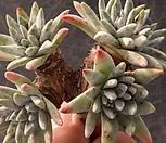 화이트그리니8두자연-뿌리무|Dudleya White gnoma(White greenii / White sprite)