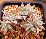 화이트그리니(6두한몸묵은둥이) X092415|Dudleya White gnoma(White greenii / White sprite)