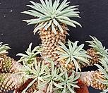 묵은 괴마옥|Euphorbia hypogaea