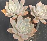 핑크프리티1854|Echeveria Pretty in  Pink
